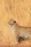 Female leopard in Masai Mara Stock Photo