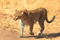 Female leopard in Masai Mara Stock Photo