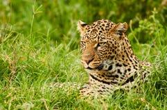 Female leopard portrait Stock Images
