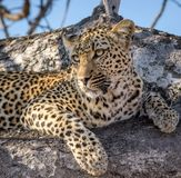 Staring Leopard Royalty Free Stock Photo