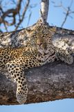 Staring Leopard Royalty Free Stock Photography