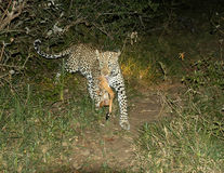 Female leopard runs with her kill Stock Photo