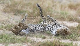 Female leopard slaps male while mating on grass in nature. Female leopard slaps male while mating on short grass in nature Stock Photography