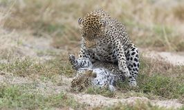 Female leopard slaps male while mating on grass in nature. Female leopard slaps male while mating on short grass in nature Stock Photos