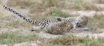 Female leopard slaps male while mating on grass in nature. Female leopard slaps male while mating on short grass in nature Royalty Free Stock Images