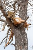 A female leopard sleeping next to her impala kill in tree. Captured in the Greater Kruger National Park - South Africa royalty free stock photography