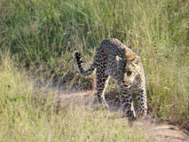 Female leopard, South Africa Royalty Free Stock Photo