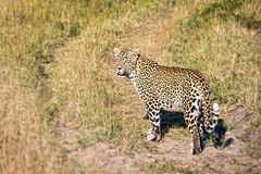 Female leopard, South Africa Stock Photo