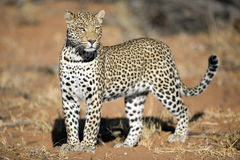 Female Leopard. Standing in morning light Royalty Free Stock Images