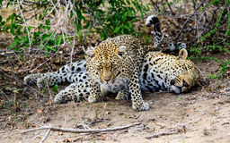 Female leopard temptress with an unwilling suitor. Female Leopard trying to coax a response from her unwilling partner Royalty Free Stock Images