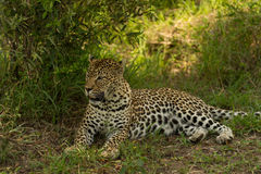 Female leopard under the bush Royalty Free Stock Images