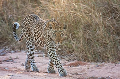 Female leopard walking Royalty Free Stock Photography