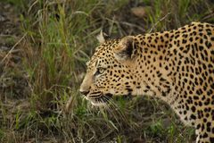 Female Leopard walking Royalty Free Stock Photos