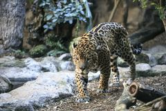 Female leopard in a zoo stock photos