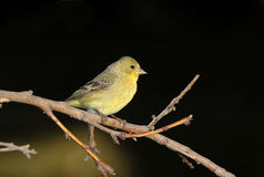 Female Lesser Goldfinch (Spinus psaltria) Royalty Free Stock Photos