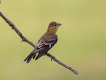 Female Lesser Goldfinch (Spinus psaltria) Royalty Free Stock Images