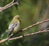 Female Lesser Goldfinch. A wild female Lesser Goldfinch on a branch royalty free stock photo
