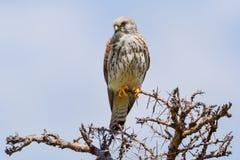 Female Lesser Kestrel - Falco naumanni. A female Lesser Kestrel, perched on top of a dead Acacia tree in Olare Orok Conservancy, Kenya Stock Photography