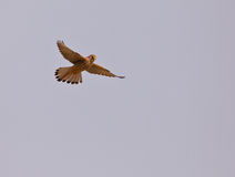 female Lesser Kestrel hovering Stock Photo