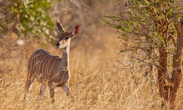 A female Lesser Kudu. A Lesser Kudu (Ammelaphus imberbis) appears in a clearance of the forest displaying it´s elegance and fragility Stock Photography