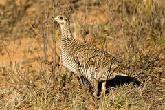 Female Lesser Prairie Chicken Stock Photos