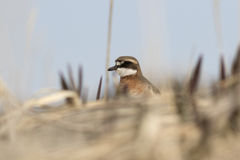 Female LESSER SAND PLOVER peeping from behind a dune Royalty Free Stock Photography