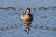 Female Lesser Scaup Aythya affinis Royalty Free Stock Images