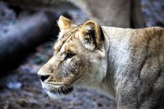 The female ligra. Face closeup of a hybrid of tiger and lion. Stock Photos