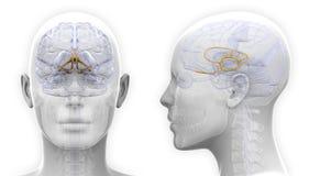 Female Limbic System Brain Anatomy - isolated on white royalty free illustration