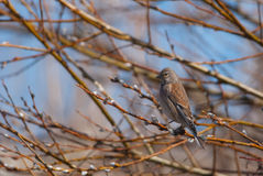 Female Linnet. On a branch full of catkins Stock Photo