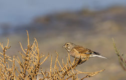 Female Linnet Stock Photography