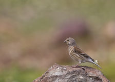 Female linnet (Carduelis cannabina). A female linnet is looking around on a piece of rock Stock Photos
