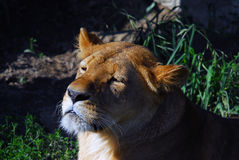 Female lion. Close up portrait of a female lion Royalty Free Stock Photo