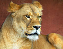 Female Lion. Closeup portrat of a beautiful female lion Royalty Free Stock Images