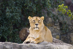 Female lion. Laying in zoo Royalty Free Stock Images