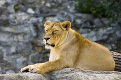 Female lion. Laying in zoo royalty free stock image