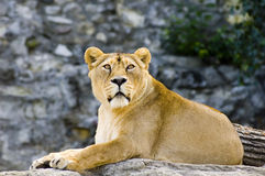 Female lion. Laying in zoo Stock Photo