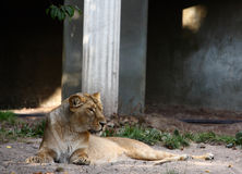 Female lion. A photo of a lion royalty free stock photography