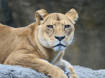 Female lion. Lyingon the rock stock photo