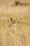 Female lion. Sitting in tall grass of the plains in Africa Stock Photo