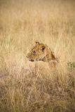 Female lion. Laying in tall grass of the African plains Royalty Free Stock Images