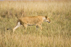 Female lion. Walking through tall grass of the African plains Stock Photography