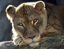 Female Lion. A female lion laying down and looking at viewer Stock Photography