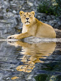 Female lion. Laying in zoo with reflection on water Stock Photos