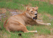 Female lion. A female lions rests in the mid-day heat Royalty Free Stock Image