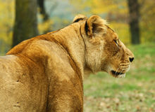 Female Lion Royalty Free Stock Photography