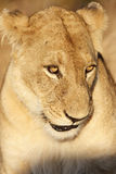 Female Lion Royalty Free Stock Photo