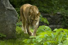 Female lion. Bronx zoo stock photography