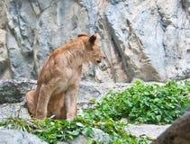 Female lion Stock Photo