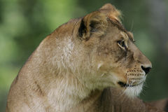 Female lion Stock Photo